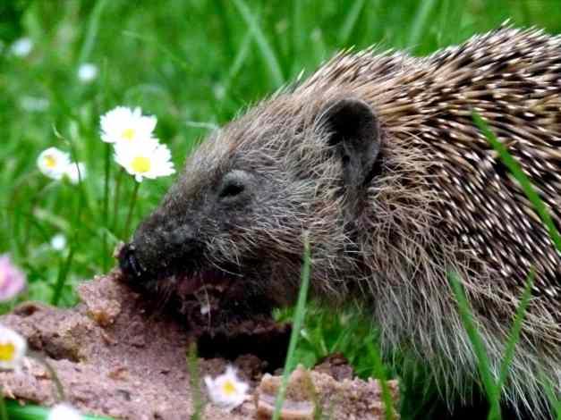 Hedgehog Horace 3 low res