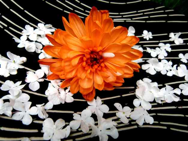Orange Chrysanthemum with blossoms low res