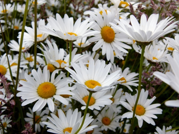 Oxeye daisies low res
