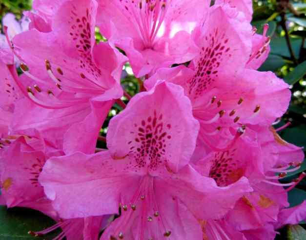 Pink Azaleas low res