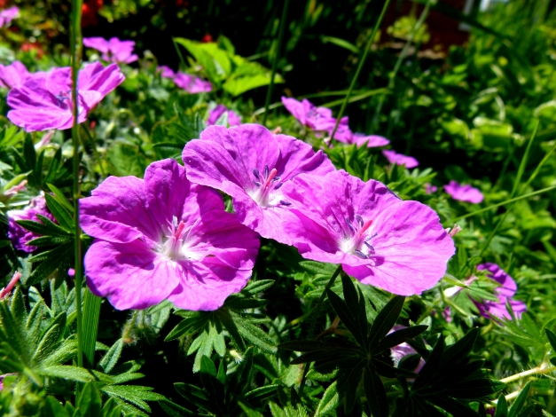 Photo: Geranium ground cover