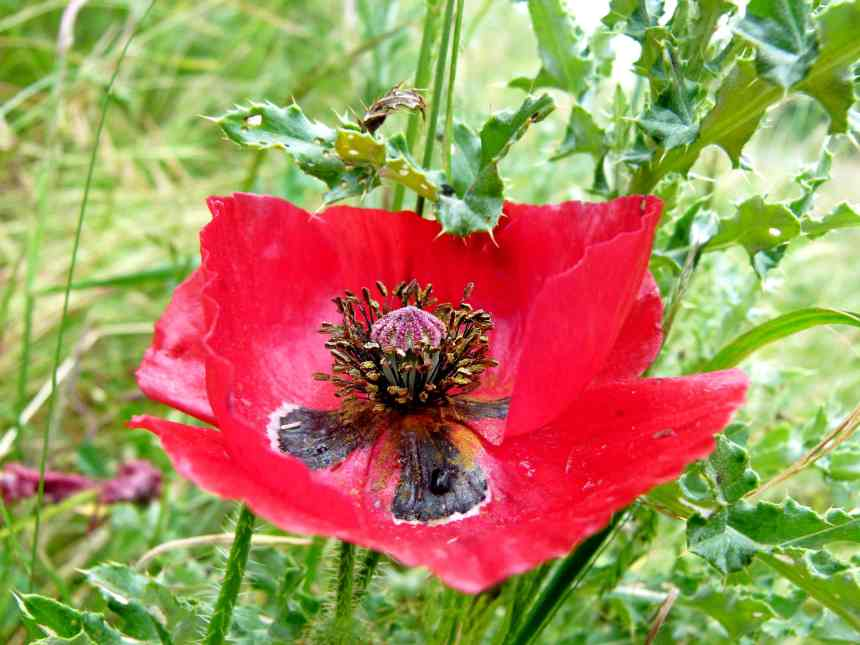 Poppy exposed low res