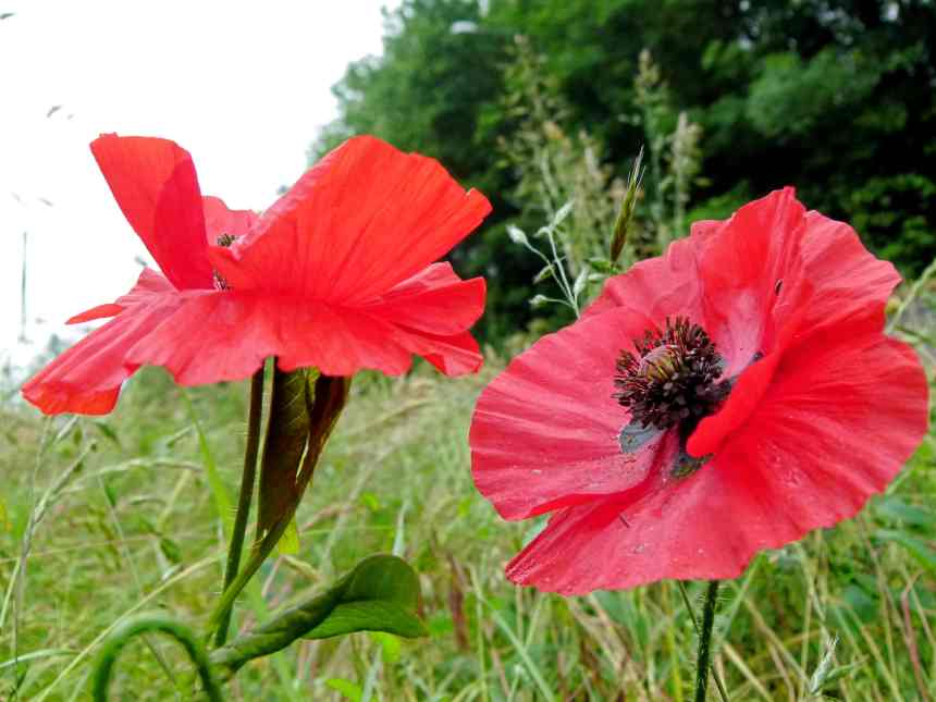 Poppy pair assymetrical low res
