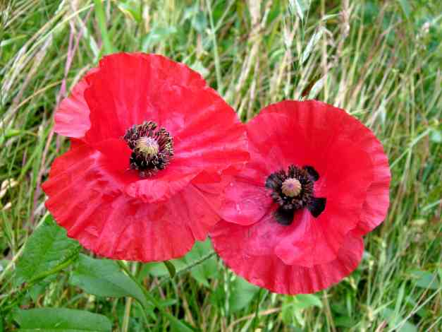Poppy pair low res