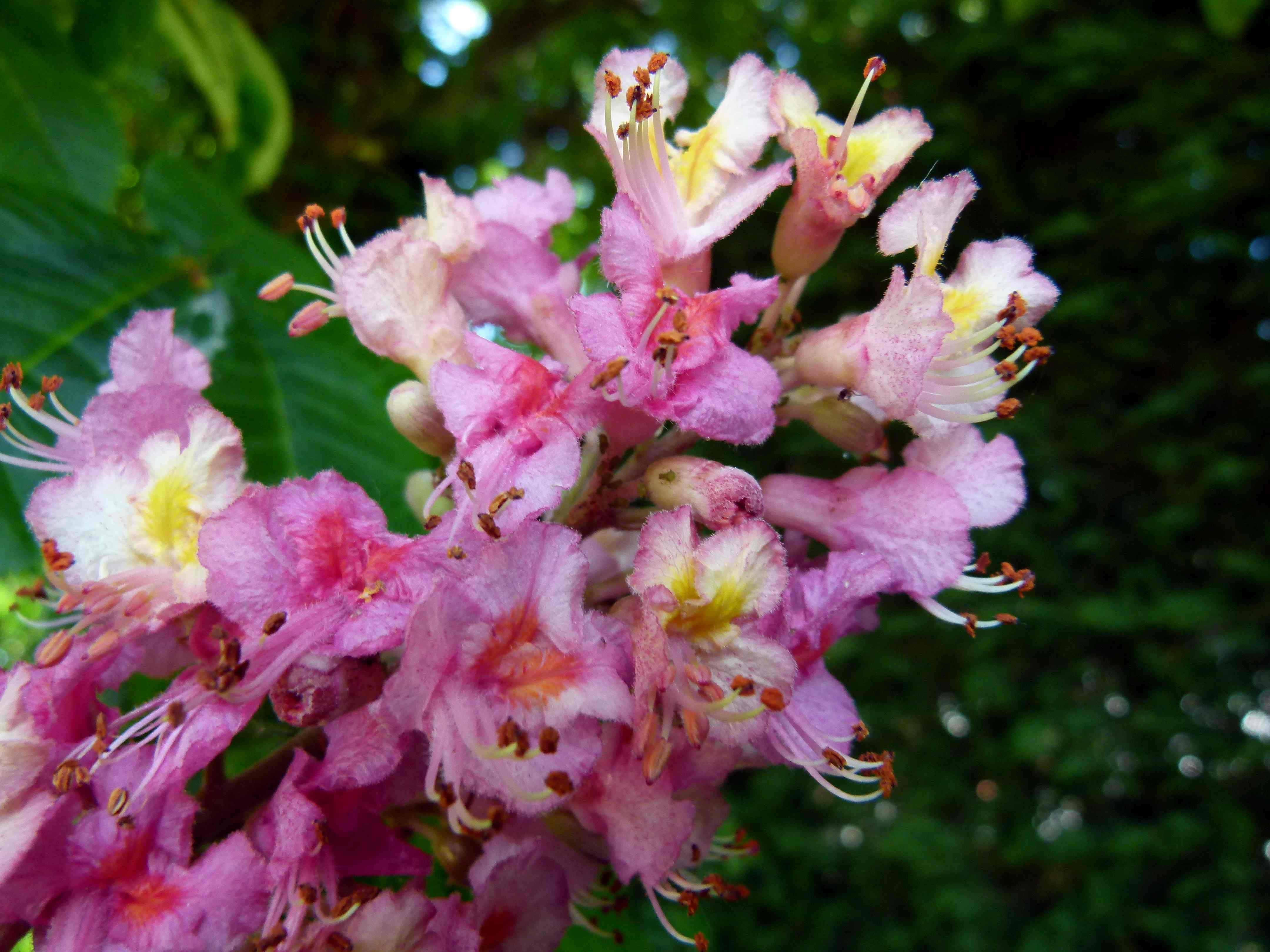 Horse chestnut tree flowers fables and flora image image mightylinksfo Gallery
