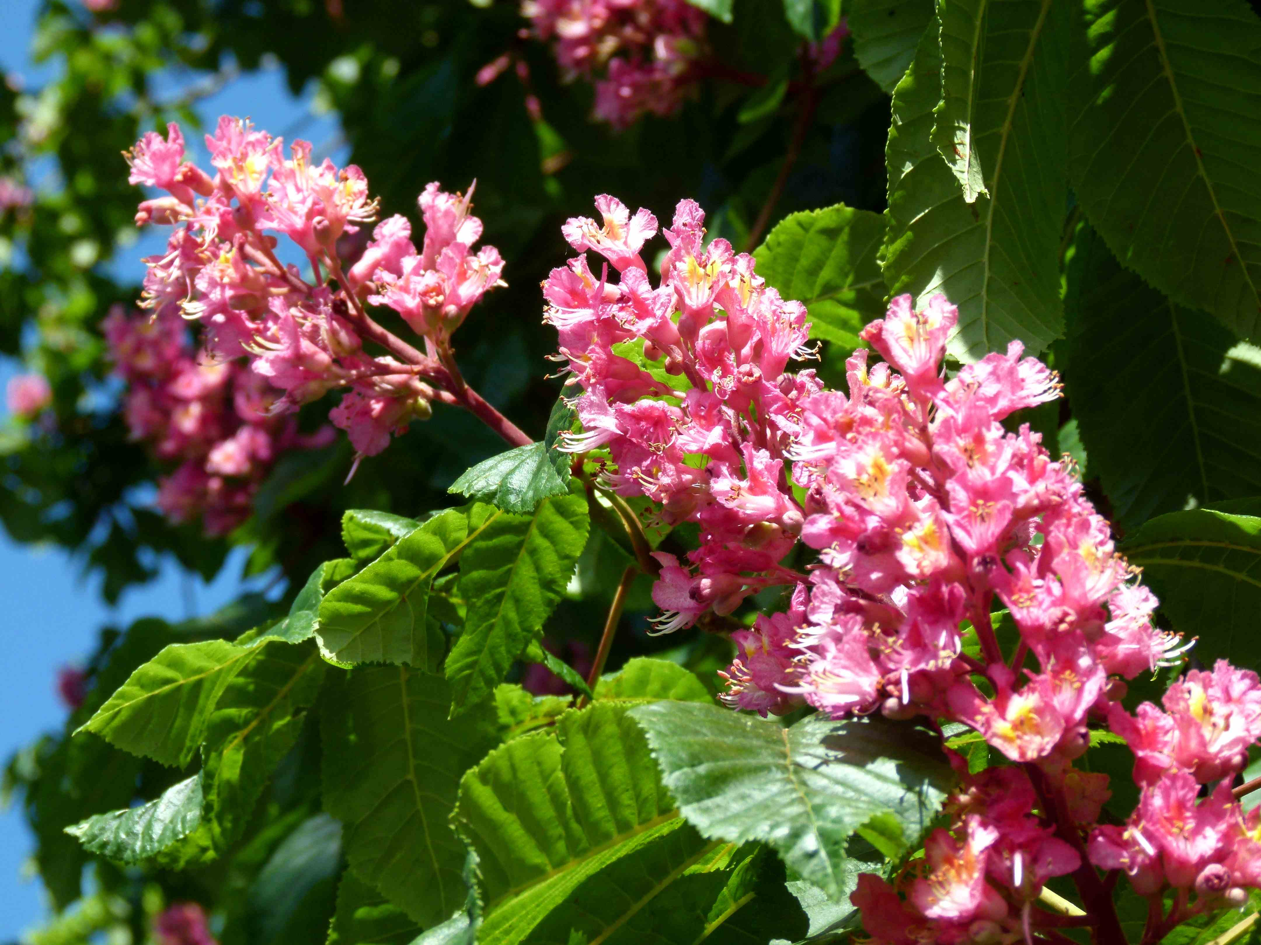 Horse chestnut tree flowers fables and flora image image mightylinksfo