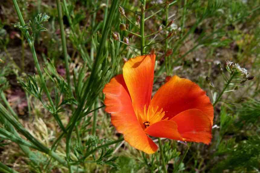 California poppy single low res