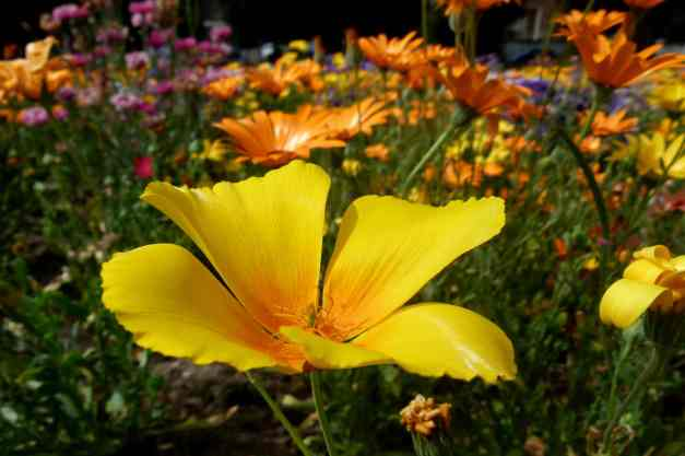 Californian poppy in meadow low res