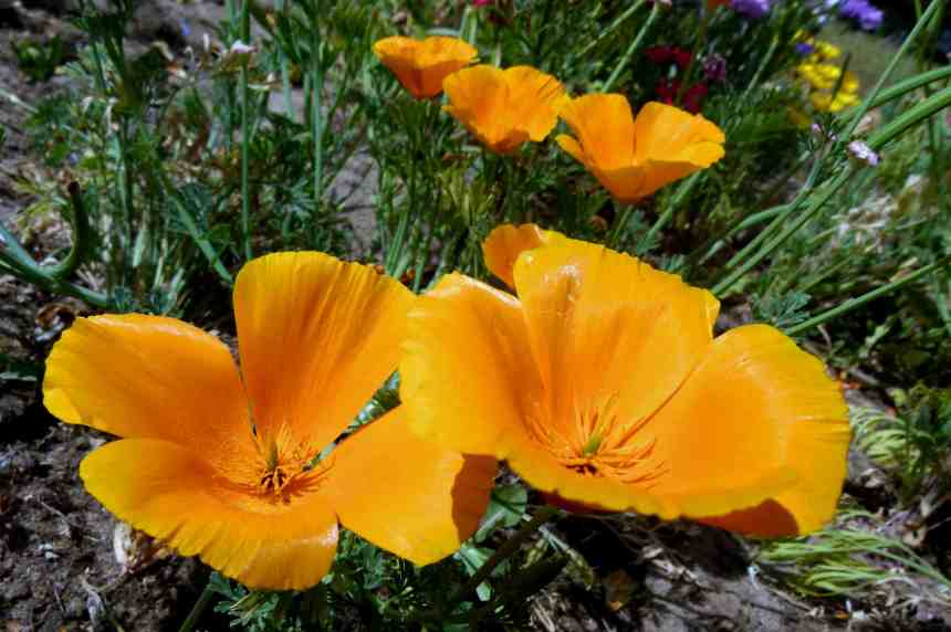 Californian poppy pair low res