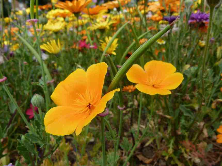 Californian poppy seed low res