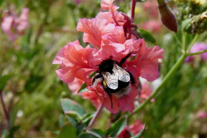 Clarkia Mountain Garland bee low res