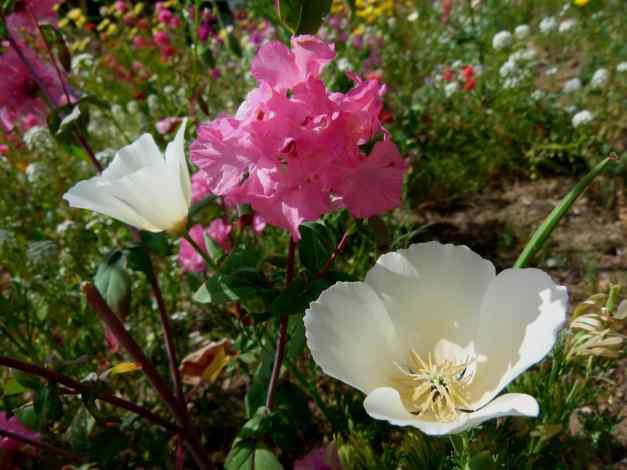 Clarkia Mountain Garland Poppy low res