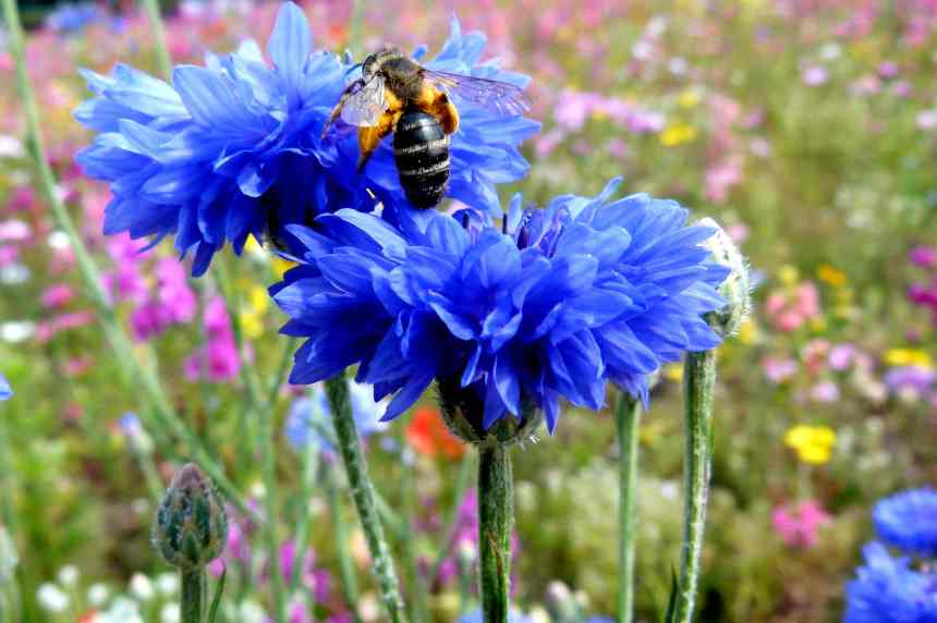 Cornflower fat bee low res
