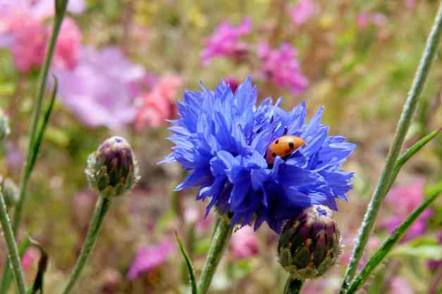 Cornflower with ladybird low res