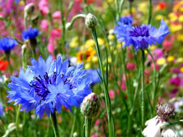Cornflowers in meadow 2 low res