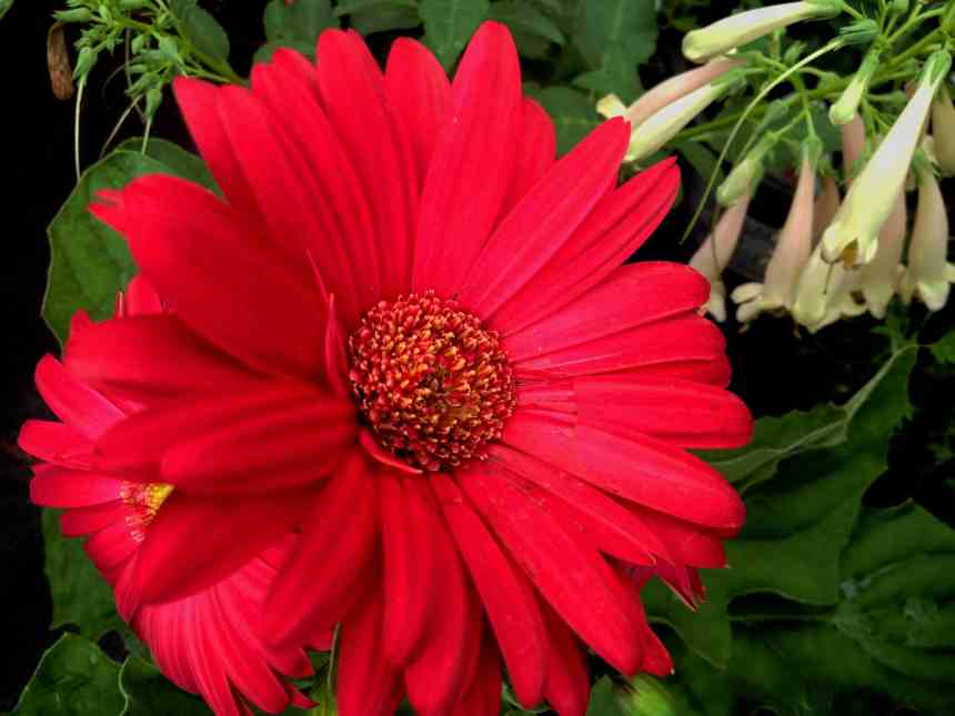Gerbera red low res