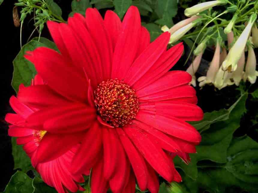 Gerbera red low res