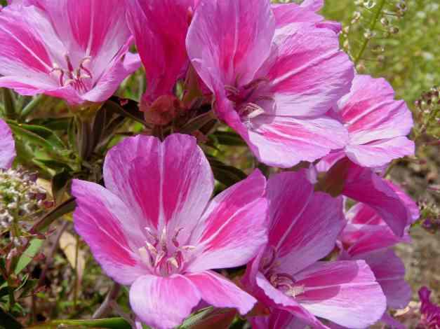 Godetia cluster light pink 1 low res