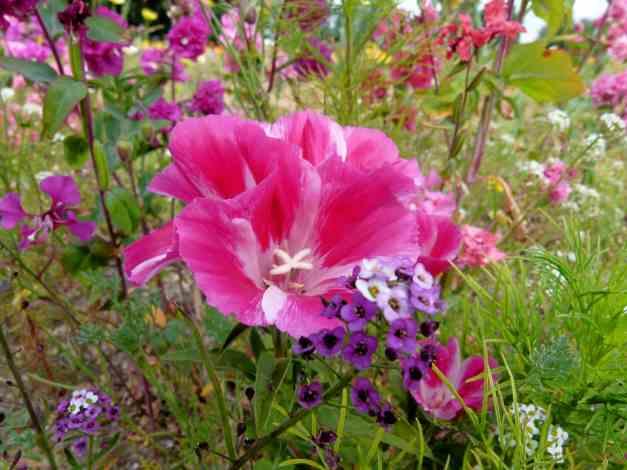 Godetia pink 2 low res