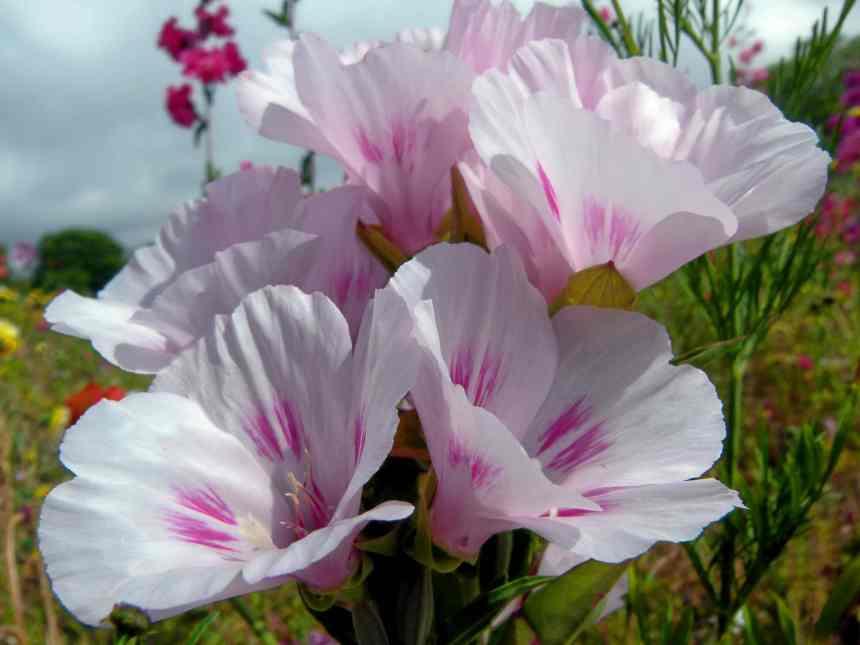 Godetia white 1 low res