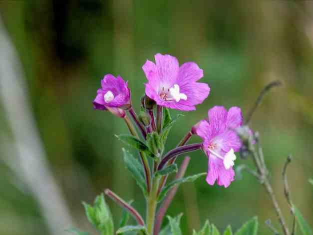 Great Hairy Willowherb Epilobium hirsutum low res1