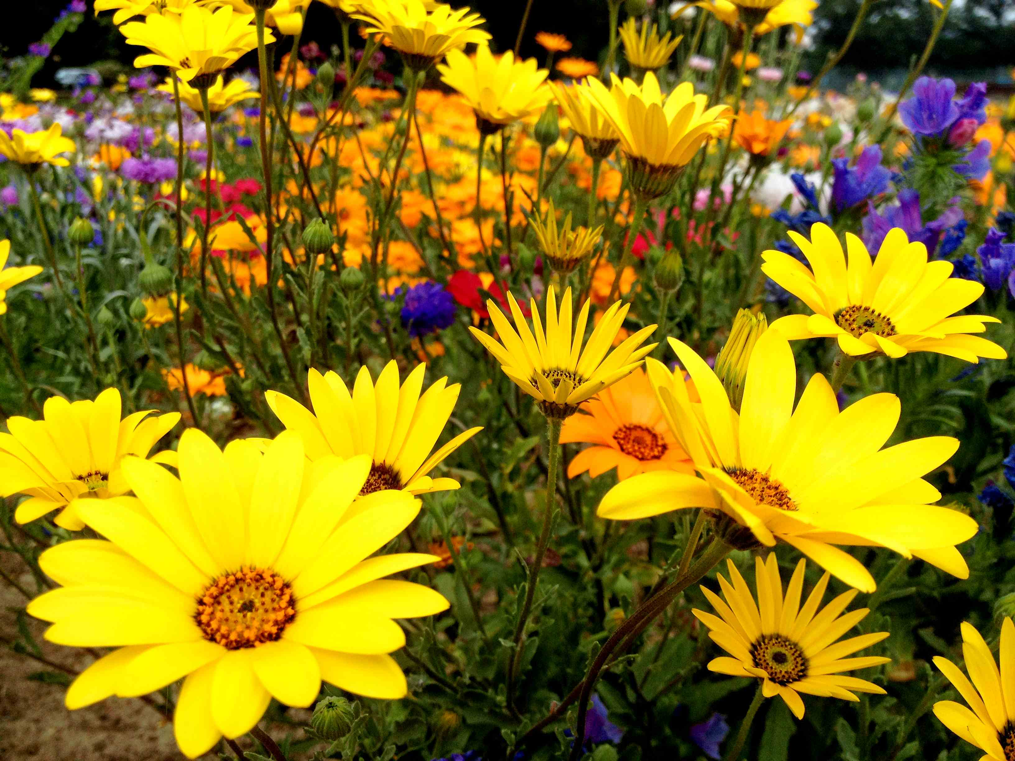 Corn Flower Fables And Flora