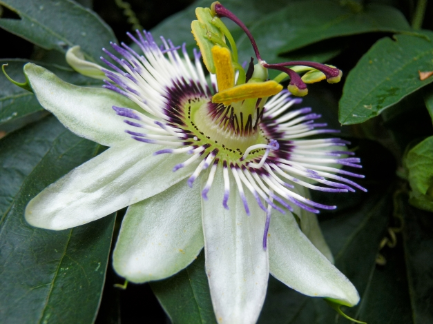 Passion flower side angle up low res
