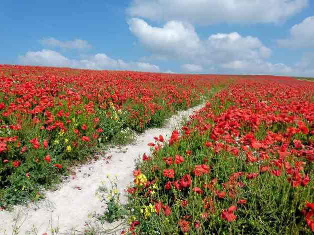 Poppy path low res