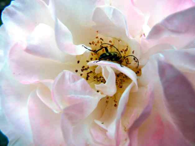 Rose and beetle low res