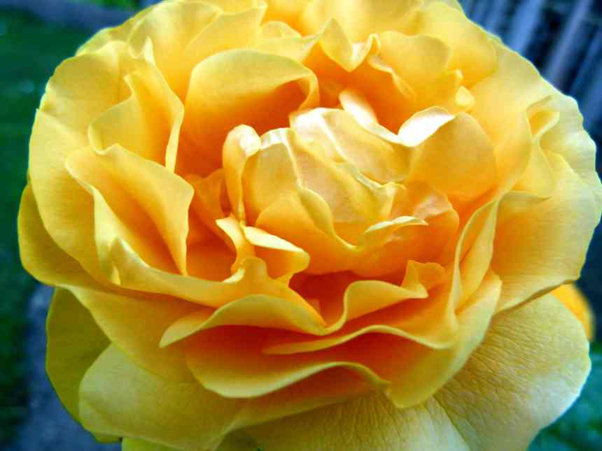 Rose golden yellow low res