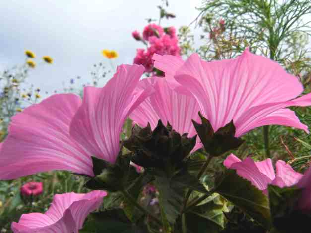 Rose mallow side on low res