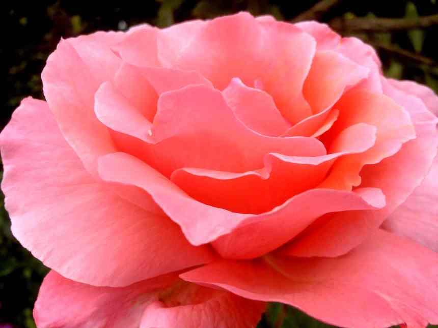 Rose salmon pink low res