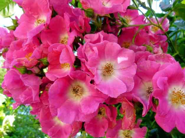 Roses pink rambling low res