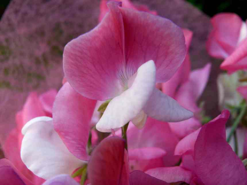 Sweet pea pink low res
