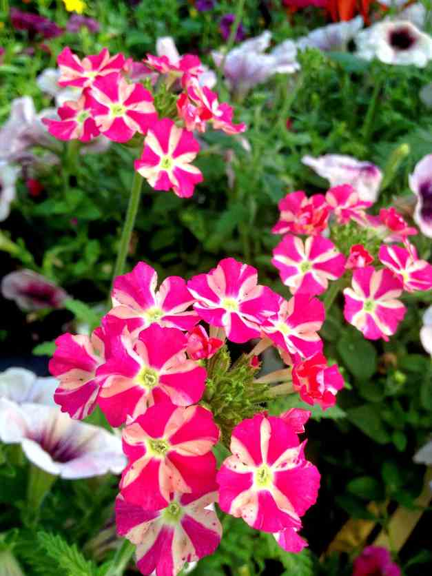 Verbena pink stripes low res