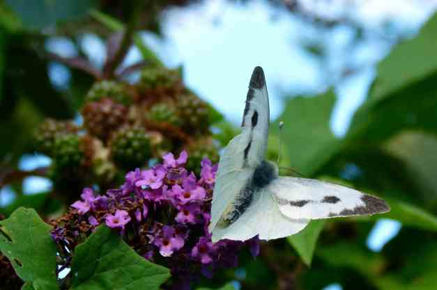 Buddleia white butterfly low res1