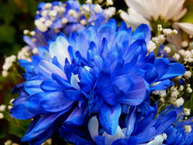 Chrysanthemum blue 2 low res