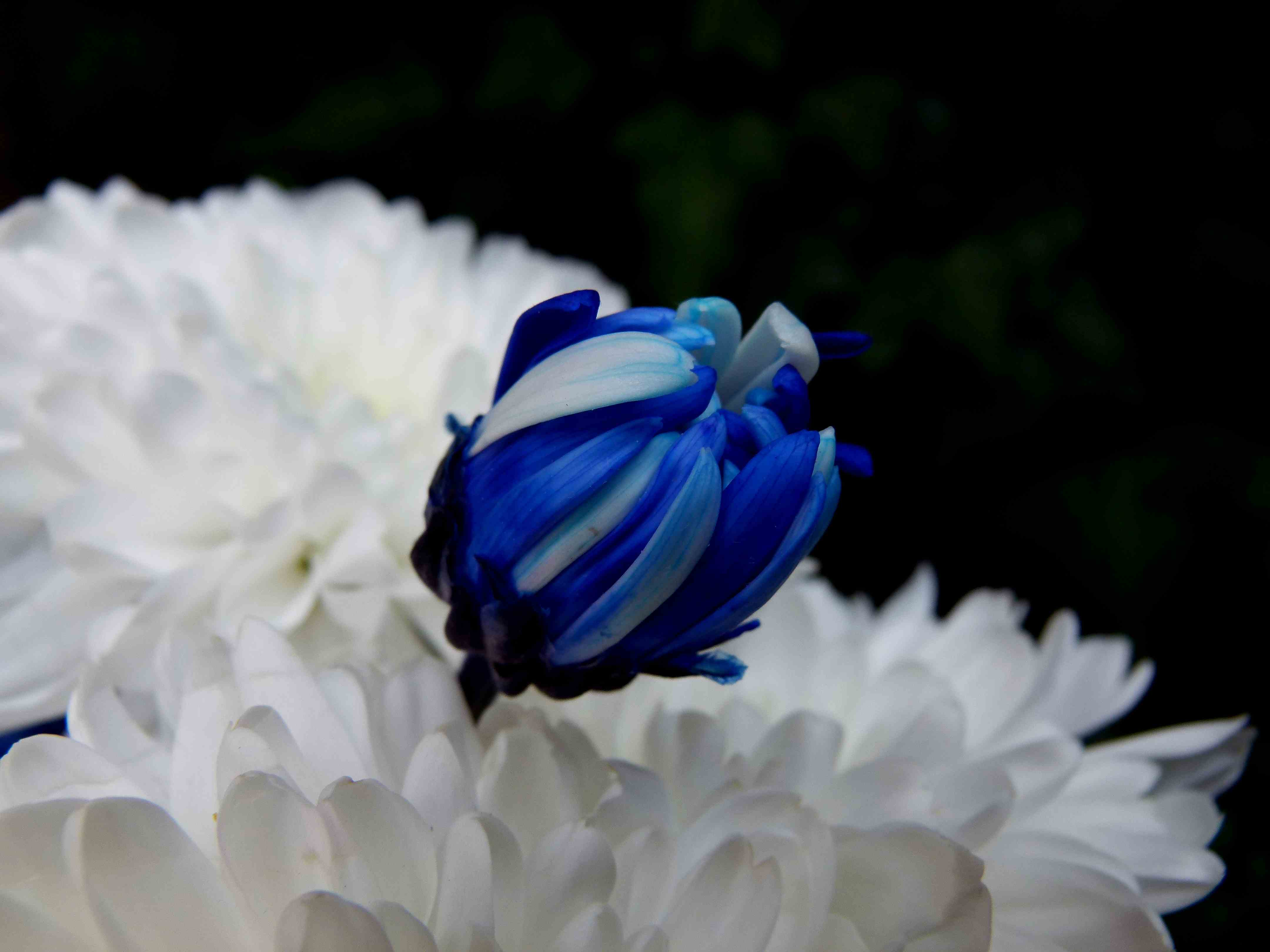 Blue Chrysanthemums | Fables and Flora