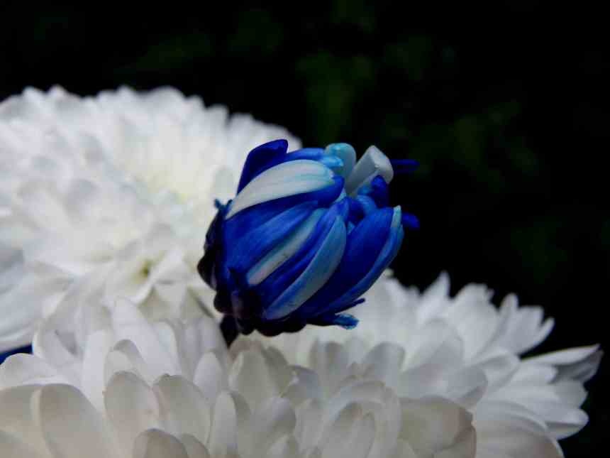 Chrysanthemum blue bud low res