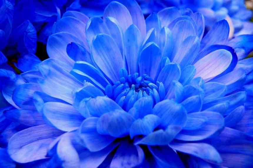 Chrysanthemum blue low res