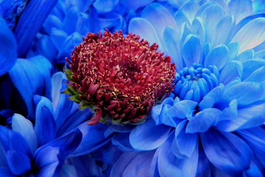 Chrysanthemum blue red head low res