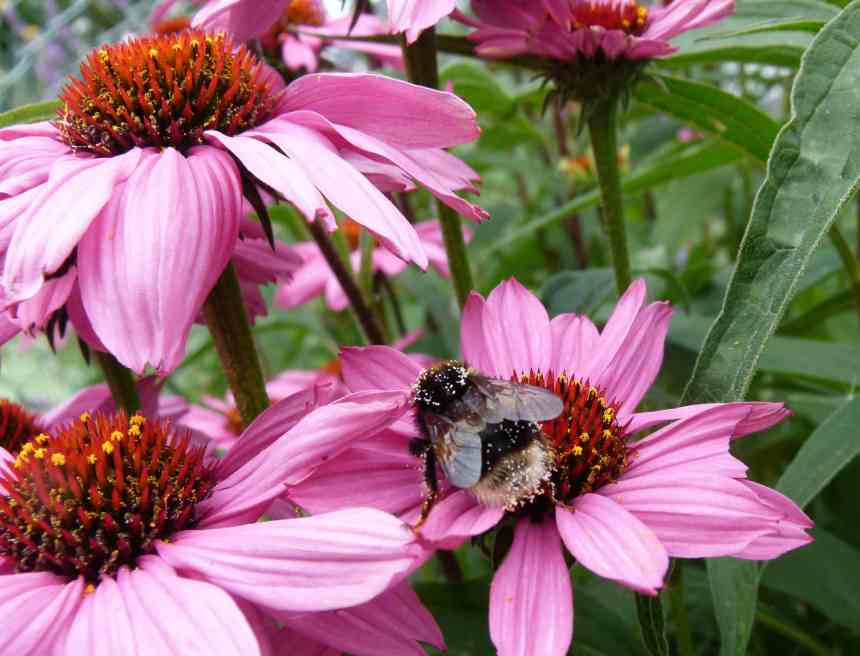 Coneflowers with bee 2 low res