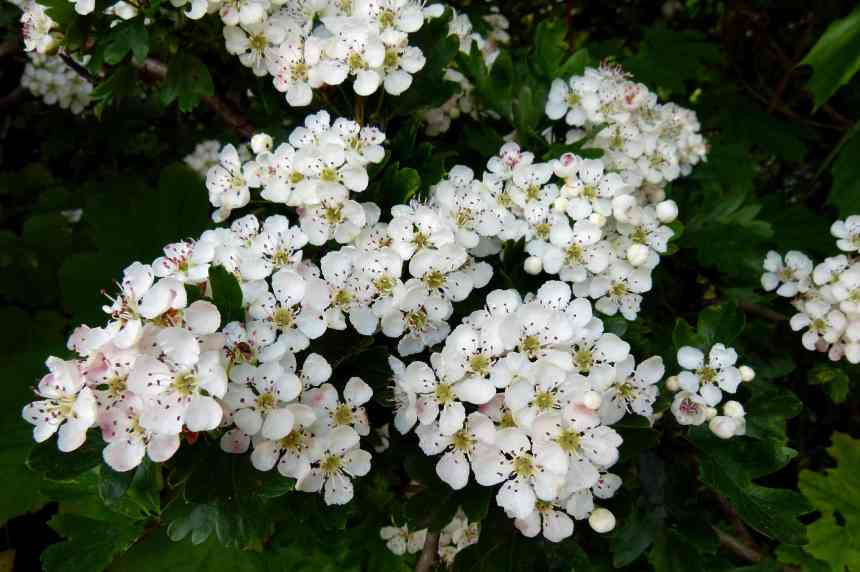 Hawthorn White 2 low res