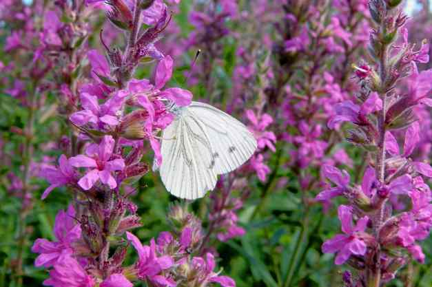 Loosestrife purple with butterfly 2 low res