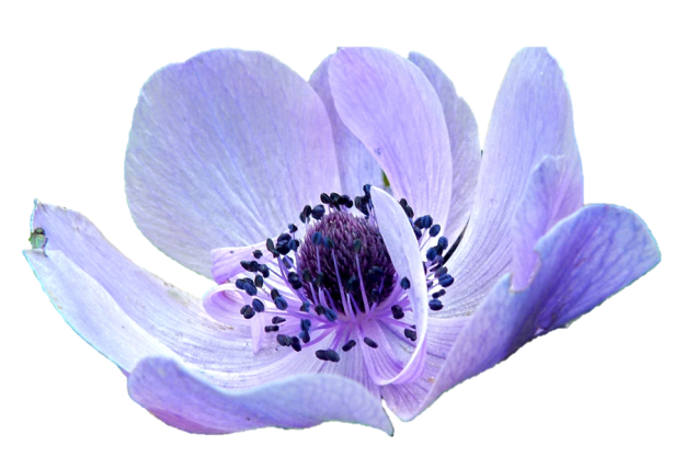 Anemone purple flower
