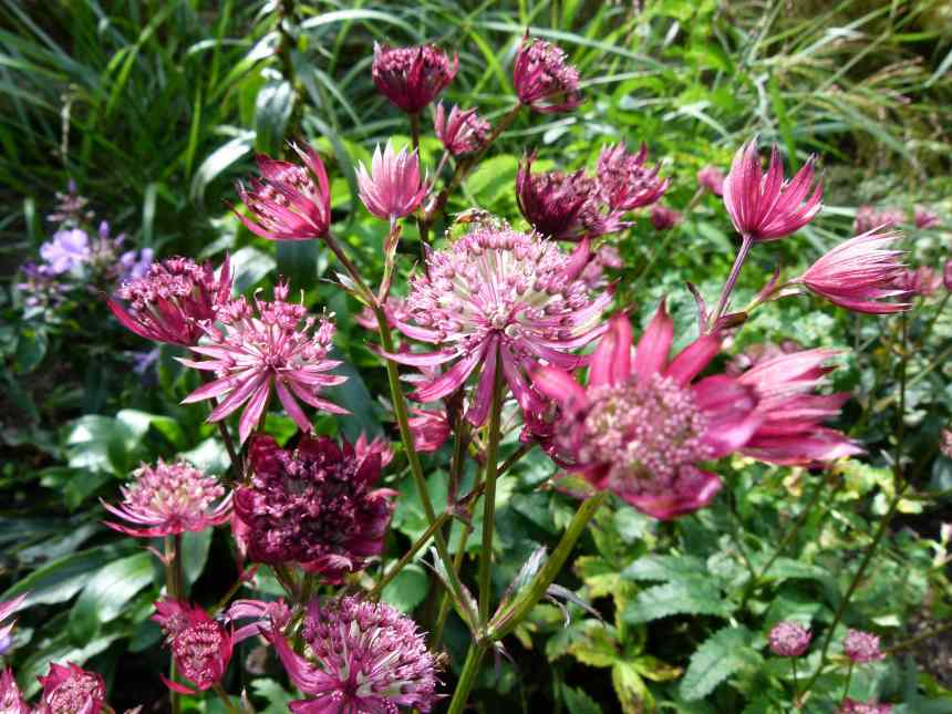 Astrantia bright pink 2 low res
