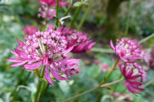 Astrantia bright pink 3 low res