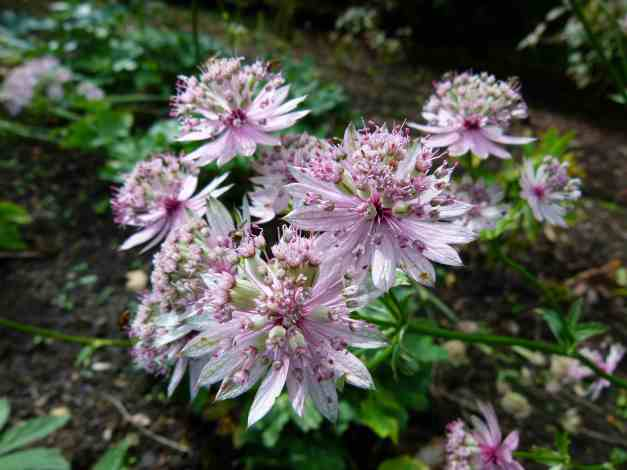 Astrantia pale pink low res1