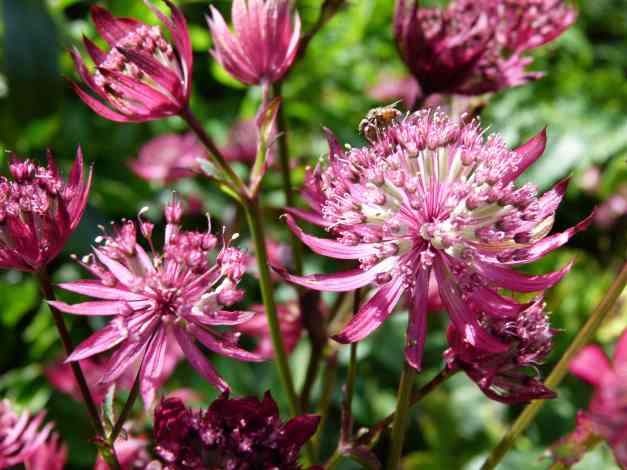 Astrantia pink low res