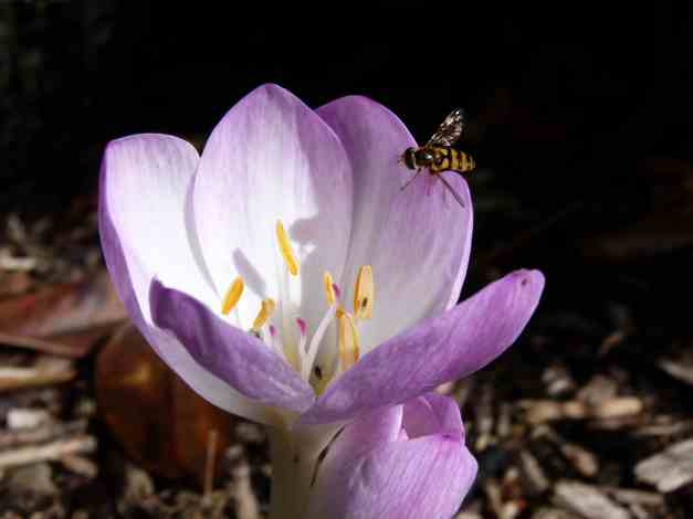 Autumn Crocus hoverfly 2 low res